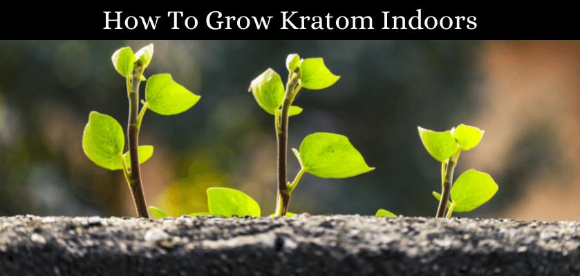 How To Grow Kratom Indoors
